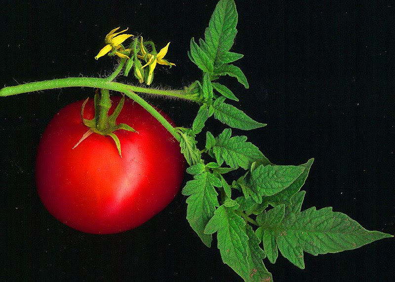 File:Tomato scanned.jpg
