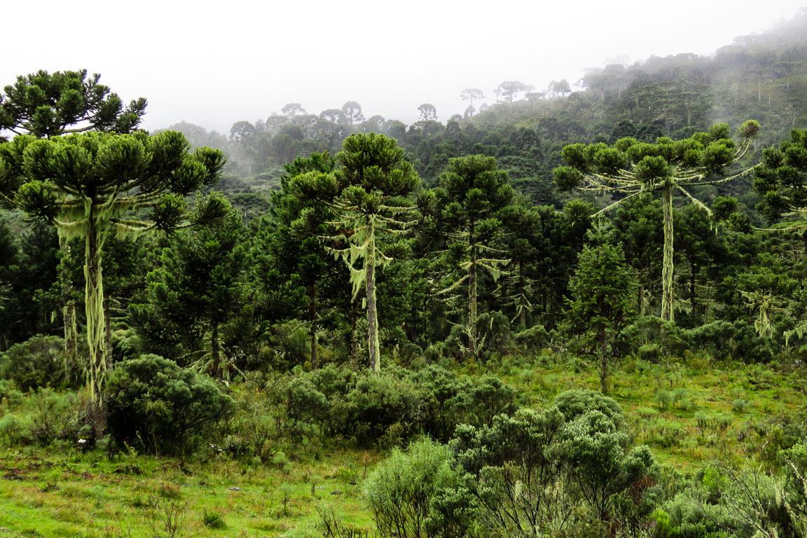 Araucárias existem desde a época dos dinossauros. Florestas naquele tempo poderiam ser parecidas com esta. Foto: Rita Souza