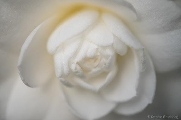 portrait of a camellia