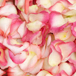 Rose Petals Bi-Color Wholesale by GlobalRose