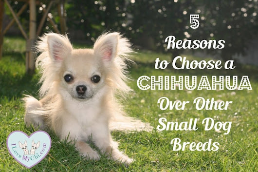 5 Reasons to Choose a Chihuahua Over Other Small Dog Breeds