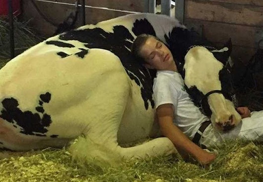 Iowa State Fair cow and boy taking nap wins the internet after photo goes viral