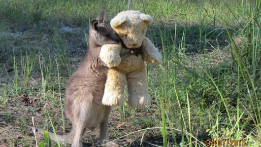 A baby kangaroo captures the hearts of animal lovers across the world