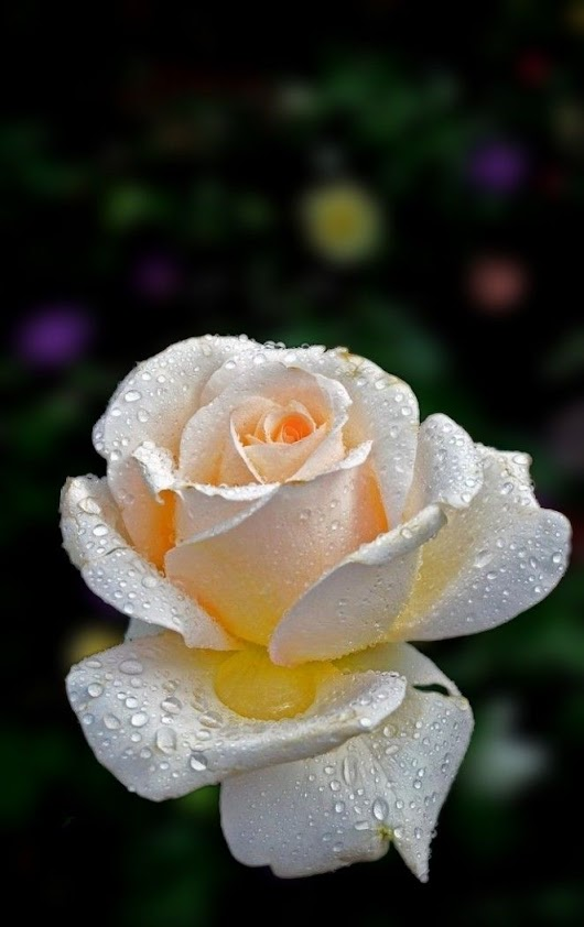 Pin by Nasreen Shaikh on Champ | Pinterest | Beautiful roses, Rose and Double delight rose