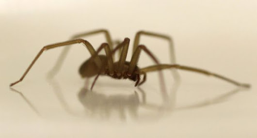Dangerous brown recluse spiders found in Michigan family's garage