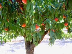 pretty peach tree