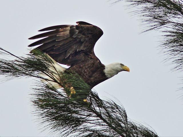 Bald Eagle landing 5-20131127