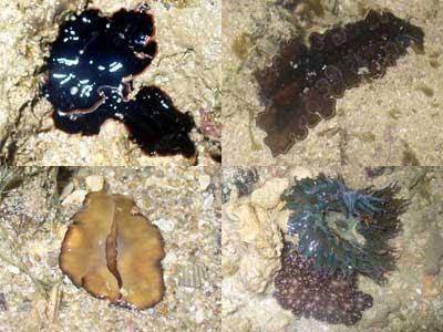 Flatworm-1, 2, Pseudobiceros gratus (Kusu) & Acanthozoon sp (Hantu, Cyrene) & Phymanthus sp. (Hantu)