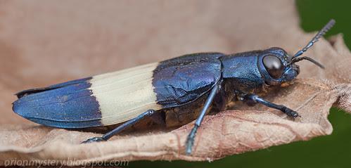 IMG_7575 merged copy Buprestidae - Chrysochroa castelnaudi