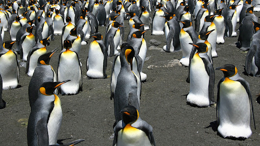 Unique structure of king penguin colonies makes them resilient • Earth.com