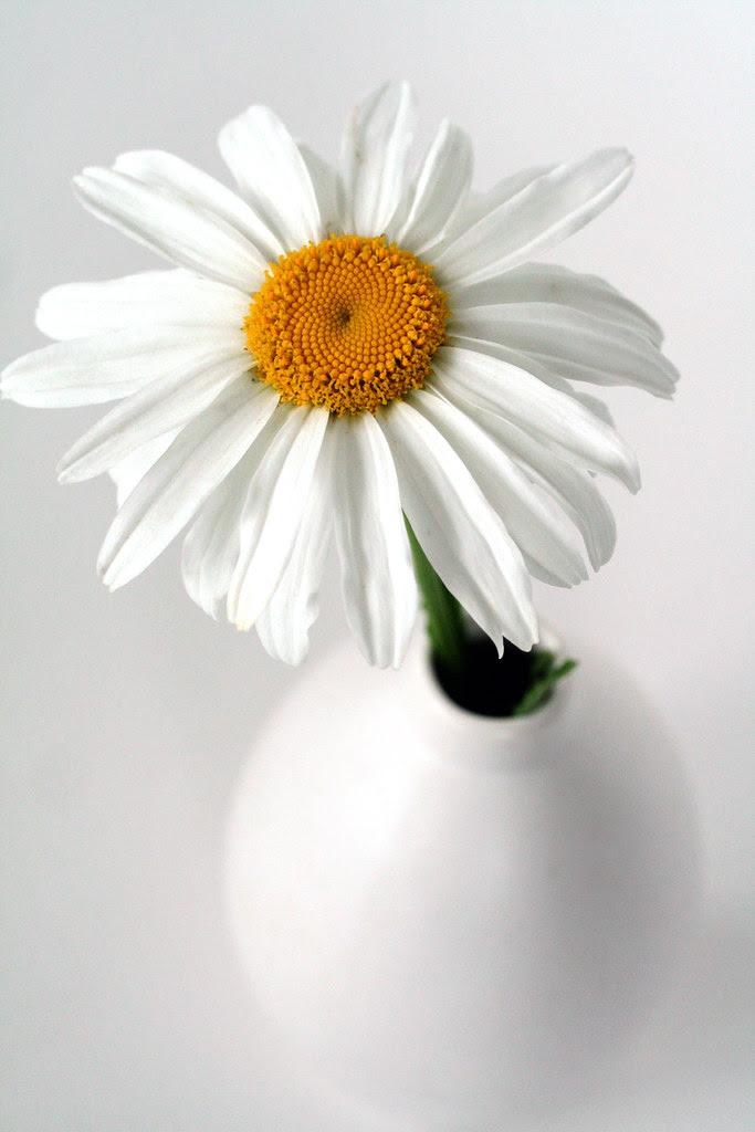 Sweet Daisy