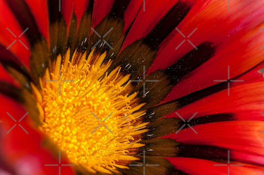 'Red Gazania' by SusanAdey