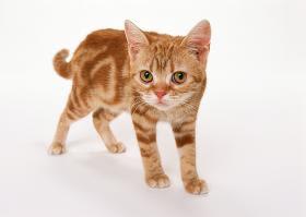 アメリカン・ショートヘア 猫用品のゴロにゃん - アメリカンショートヘア カラー