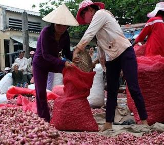 Nông dân xã Tân Điền thu hoạch hành tím bán cho thương lái.