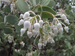 white manzanita flowers