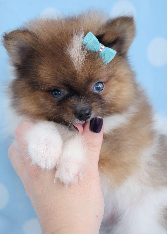 Pomeranian Puppy For Sale In Belgium