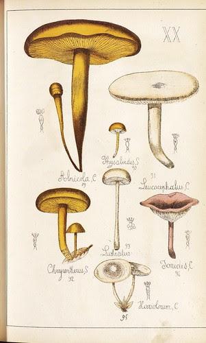 Alnicola, Physaloides, Leucocephalus, Chrysentheus, Tonides et Hariobolum spp.