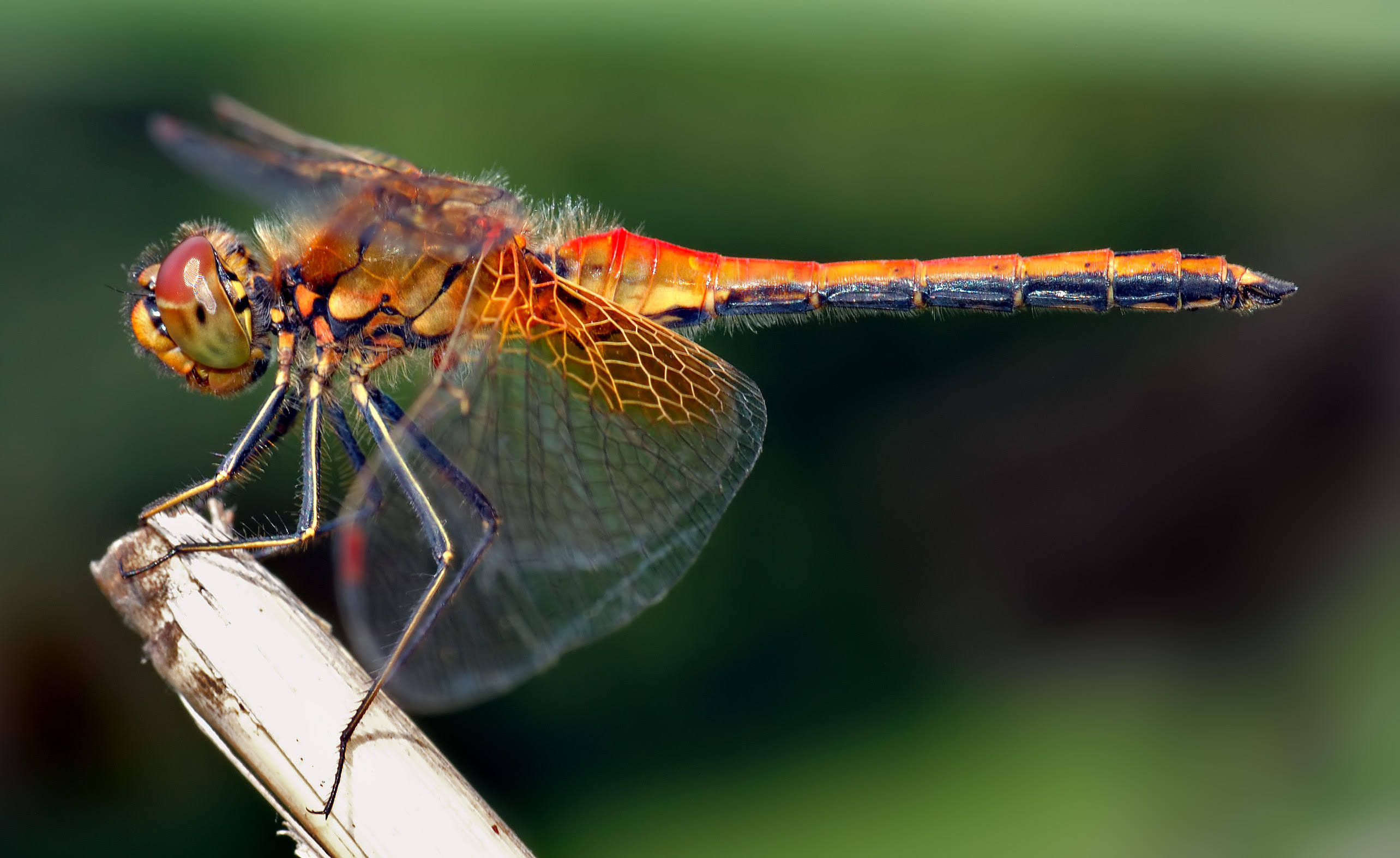 http://upload.wikimedia.org/wikipedia/commons/0/03/Sympetrum_flaveolum_-_side_%28aka%29.jpg