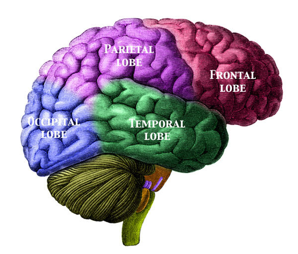 File:BrainLobesLabelled.jpg