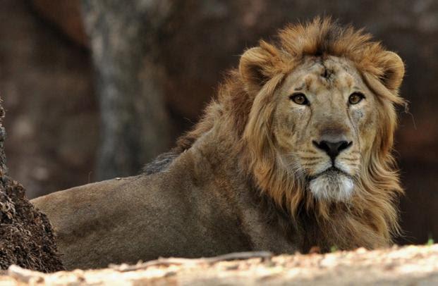 Govt not keen to reintroduce Gir lions in Madhya Pradesh