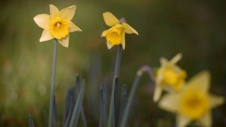 BBC News - Keep daffodils away from food, supermarkets warned