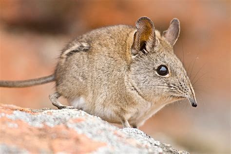 Scientists discover new species that looks like a tiny, furry elephant   CSMonitor.com