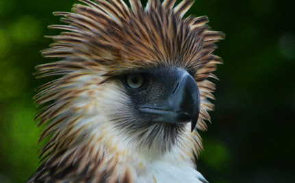 Rare Philippine Eagle Shot Dead After Being Nursed To Health