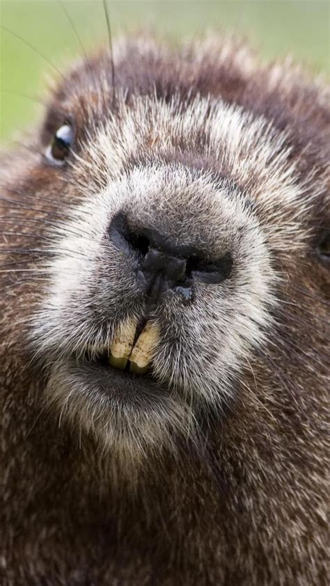 beaver, face, teeth, fur   ADORABLE ANIMALS!!!!!   Pinterest   Search, Fur and Image search