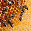 Europe bans bee-killing neonicotinoid pesticides: When will America take action?