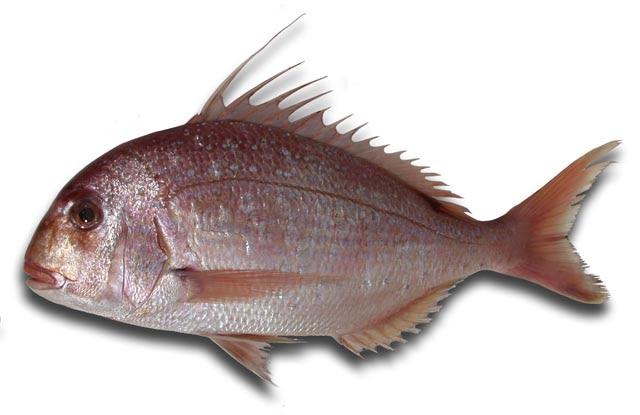 Resultado de imagen de Pagrus caeruleostictus
