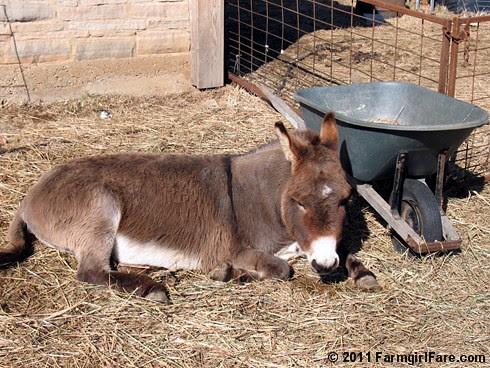 Donkey Doodle Dandy 3