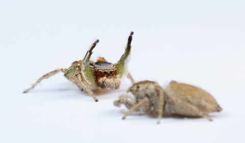 Why are some jumping spiders so colorful?