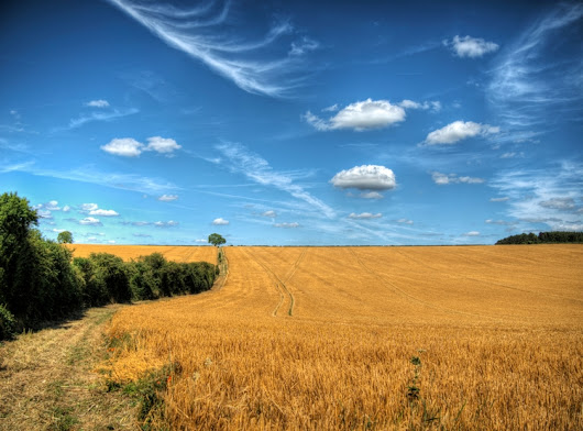 wheat :) shot field blue skies  - neilhoward | ello