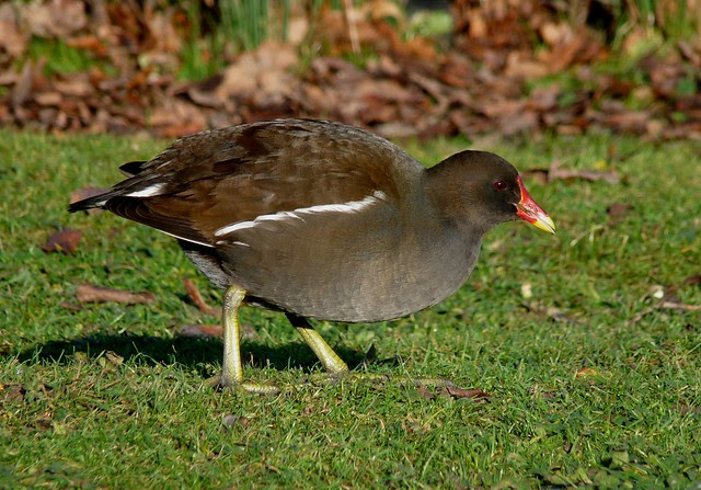 25477 - Moorhen, Slimbridge
