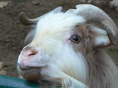 chèvre.jpg