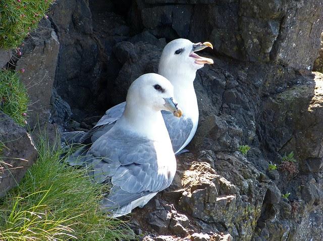27209 - Fulmar, Isle of Mull