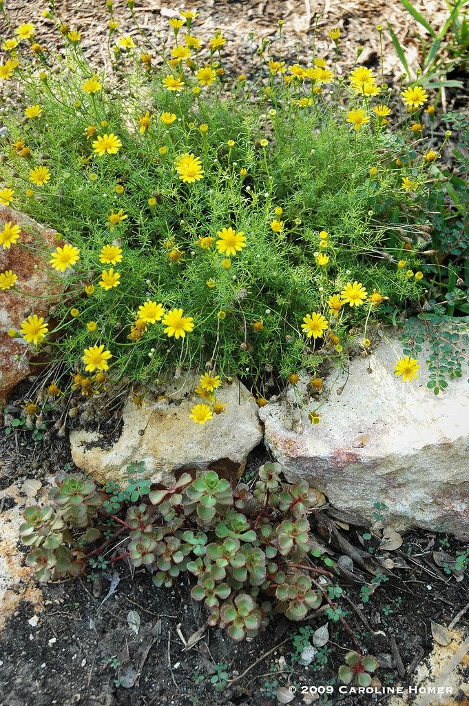 Dahlberg daisies & Red Carpet sedum