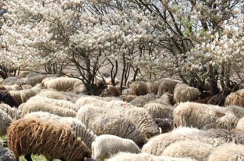 Krent en schaap