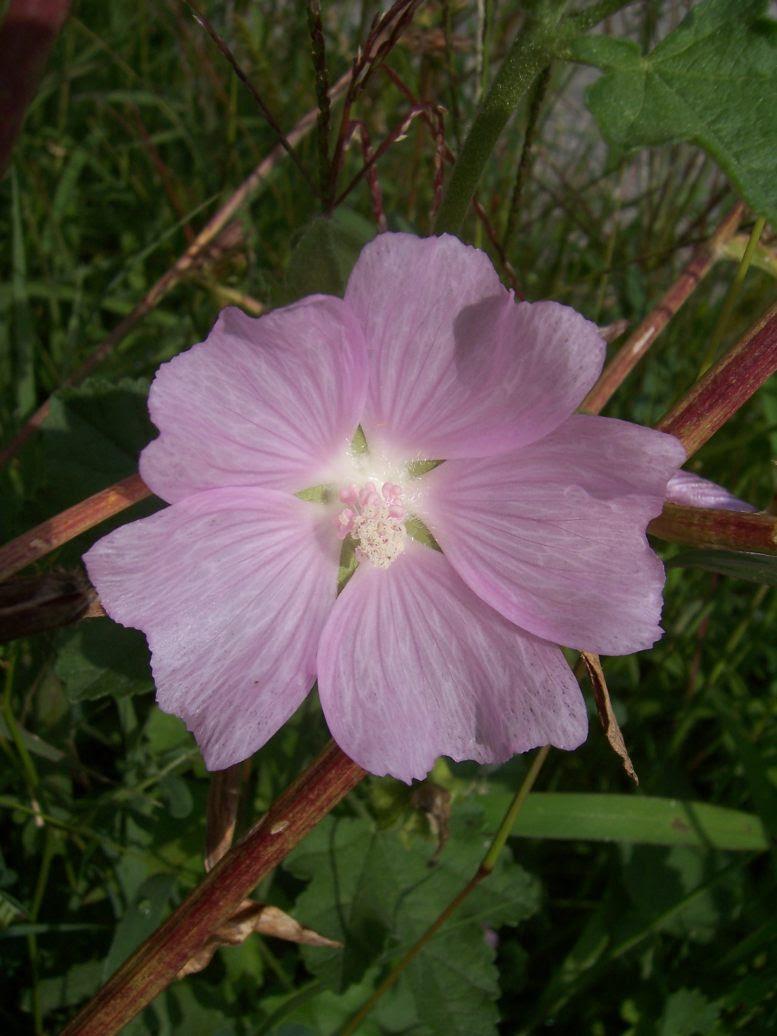 Photo de fleur de mauve