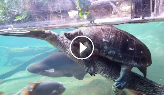 Huge Rodeo Turtle Hilariously Rides a Crocodile Like it's Nobody's Business