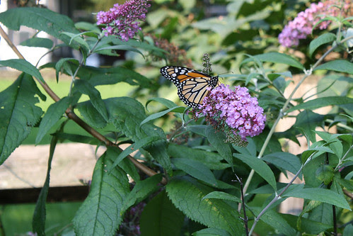 Monarch butterfly and butterfly bush