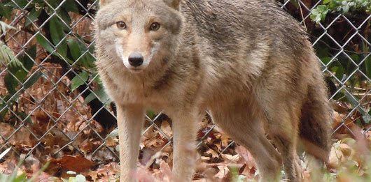 Concrete jungle: cities adapt to growing ranks of coyotes, cougars and other urban wildlife