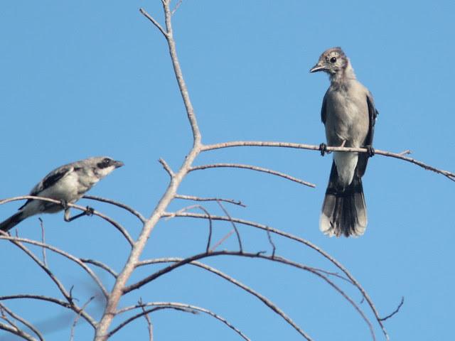 Shrike and Blue Jay 20110730