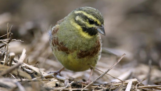 RSPB hails 'remarkable' recovery of threatened cirl bunting - BBC News