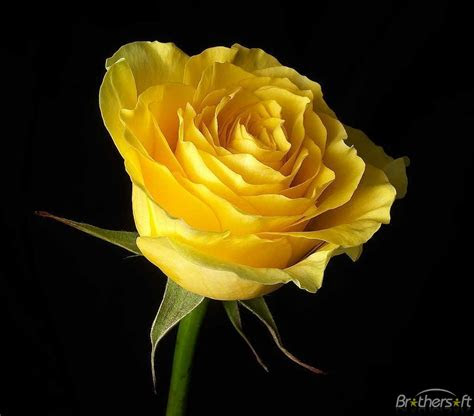 lamparao amor decampos rose flower wallpaper