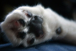 The right front paw of Jyou, a tuxedo cat from...