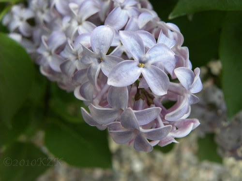DSCN4826 Lilacs