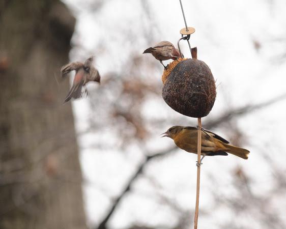 Ed Gaillard: recent &emdash; Baltimore Oriole, Central Park (Evodia)