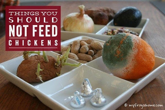 Things You Shouldn't Feed Your Chickens