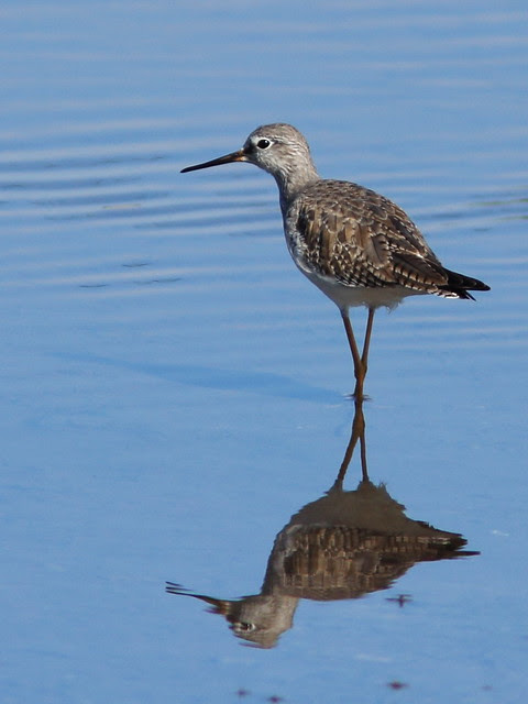 Yellowlegs 2-20140125